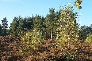 Cooper's Hill, Bedfordshire - Image: Fir Trees on heathland geograph.org.uk 629499