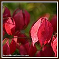 Fire Bush Leaves (15059603487).jpg