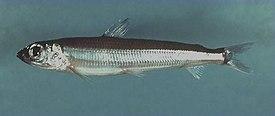 Fish4096 (5188068058).jpg