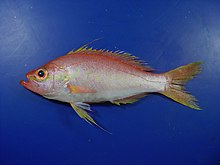 Fish4274 - Flickr - NOAA Photo Library.jpg