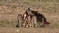 Five cheetahs were feeding on a Springbok kill one morning in the Kgalagadi. (33695263134).jpg