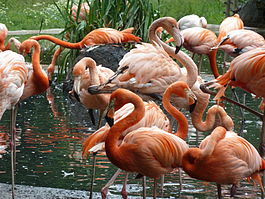 Flamingoes2352.jpg