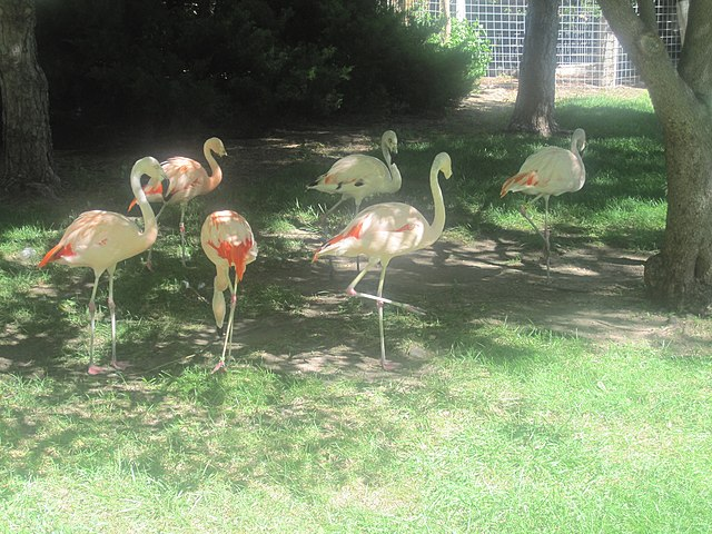 File:Flamingos at Lee Richardson Zoo, Garden City, KS IMG 5915.JPG ...