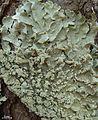 Flavoparmelia caperata - Flickr - pellaea (3).jpg