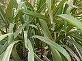 Flax-lily (4591894331).jpg