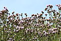 Fleur à Voisins-le-Bretonneux 2012 03.jpg