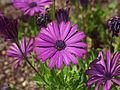 Fleur violette Arboretum Allard.jpg