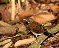 Flickr - Dario Sanches - SABIÁ-COLEIRA (Turdus albicollis).jpg