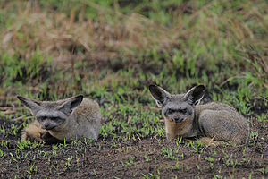 A pair of Bat-eared Foxes photographed outside...