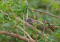 Flickr - Rainbirder - Scaly Babbler (Turdoides squamulatus).jpg