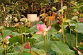 Flickr - brewbooks - Lotus, Seaside Gardens.jpg