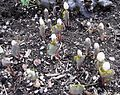 Flickr - brewbooks - Spring in Our Garden, Blood Root emerging.jpg