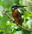Flickr - coniferconifer - Kingfisher in summer plumage - crop.jpg