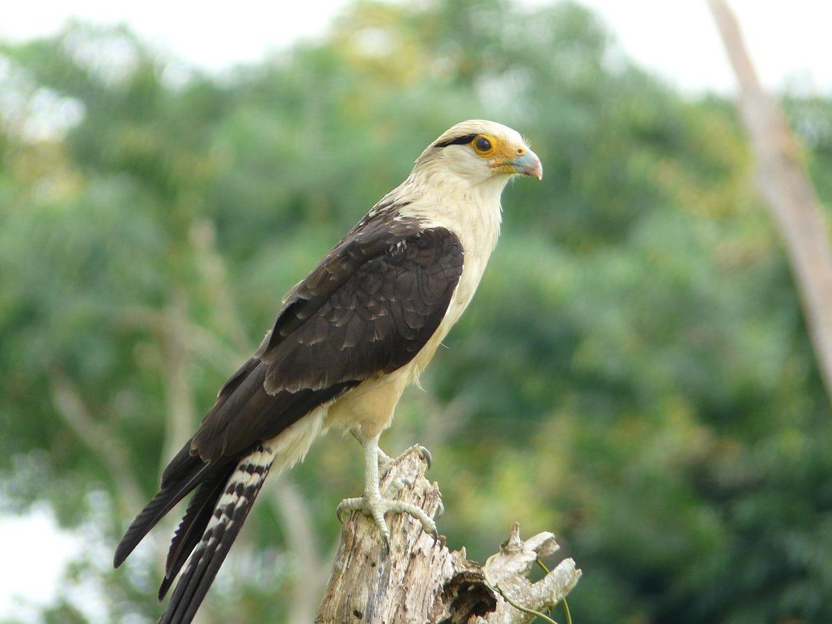 Predatory Birds Milvago chimachima - W...