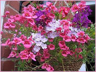 Diascia (plant) - Floral basket with diascia