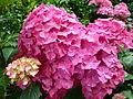 FloraLisburnJune2015 (5).JPG