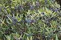 Flora della Sardegna 116 (1).JPG