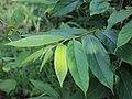 Flora from Savandurga IMG 9697.jpg