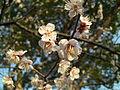Flores de Sakura.JPG