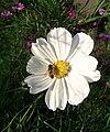 Flower-Cosmos bipinnatus.jpg