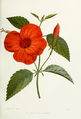 Flower-hibiscus-rosa-linensis.png