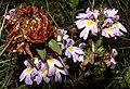 Flower in Zermatt 3.jpg
