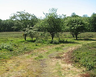 Malus sylvestris - Image: Flowering crab apple trees (Malus sylvestris) geograph.org.uk 1310191