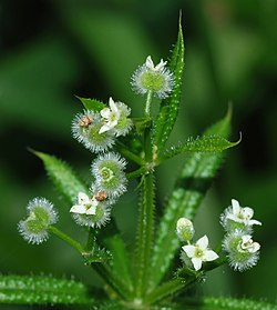 Galium aparine in flower