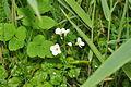 Flowers in Oxwich Burrows (5248).jpg