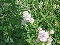 Flowers in Slovenia (4757018791).jpg