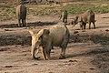 Forest elephant group 4 (6987537249).jpg