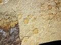 Fossiliferous sandstone (Logan Formation, Lower Mississippian; Rt. 35 roadcut, northeast of Rittenours, Ohio, USA) 6 (40230358824).jpg