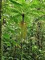 Fougère arborescente ( Dicksoniaceae ).jpg