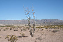 A color photograph with a tall thin Ocotillo plant standing forlorn in the middle ground of the gravely sanded Chihuahuan desert of Big Bend National Park in south-west Texas. In the background is part of the Chinati Mountains under the clear light blue desert sky.