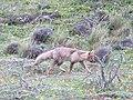 Fox Tierra del Fuego Chile.jpg