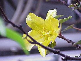Fremontodendron californicum2.jpg