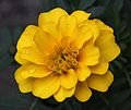 French marigold with raindrops.jpg