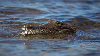 Western Australia - Crocodile at Lake Argyle