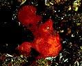 Frogfish.jpg