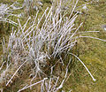 Frozen rushes on Rough Tor - geograph.org.uk - 116962.jpg