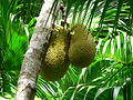 Fruit du Jacquier (Artocarpus heterophyllus).JPG
