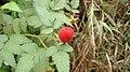 Fruta silvestre deliciosa. - panoramio.jpg