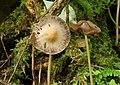 Fungus, Crawfordsburn Glen (17) - geograph.org.uk - 937916.jpg