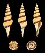Fusiturris similis 01.JPG
