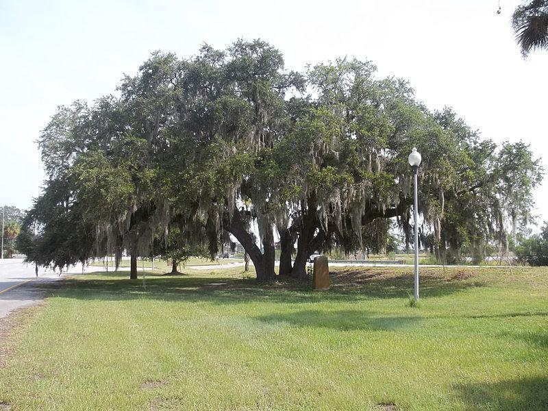 File:GA Brunswick Lanier Oak01.jpg