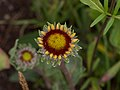 Gaillardia on Aspen Mountain (91140).jpg