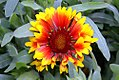 Gaillardia x grandiflora Fanfare 0zz.jpg