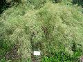 Gainesville FL Kanapaha Botanical Gardens muhly01.jpg