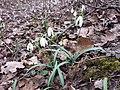Galanthus nivalis sl7.jpg