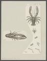 Galathea squamifera - - Print - Iconographia Zoologica - Special Collections University of Amsterdam - UBAINV0274 096 14 0008.tif